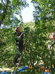 柚子収穫作業①