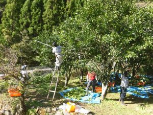 柚子収穫③