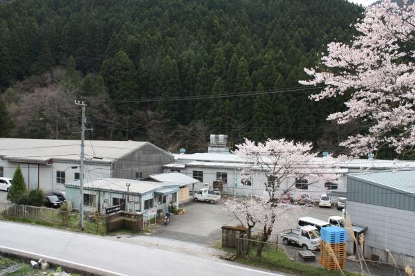エコアス桜